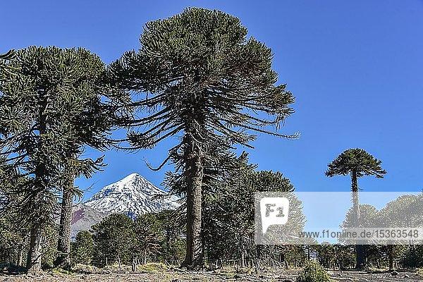 Schneebedeckter Vulkan Lanin und Chilenische Araukarien (Araucaria araucana)  zwischen San Martin de los Andes und Pucon  Nationalpark Lanin  Patagonien  Argentinien  Südamerika
