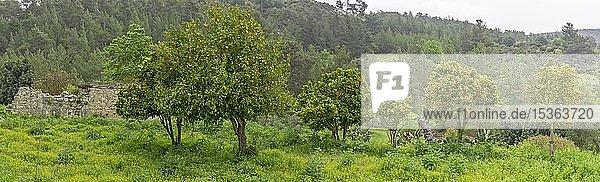Orangen und Zitronenbaum im zerstörten Dorf  Kato Archimandrita  Paphos  Republik Zypern  Zypern  Europa