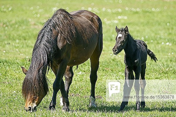 Domestic horses  Mare with foal grazing on pasture  Germany  Europe