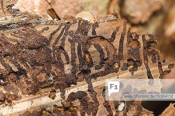 Borkenkäfer (Scolytinae) unter der Rinde am Baumstamm  Baumschädling  Österreich  Europa
