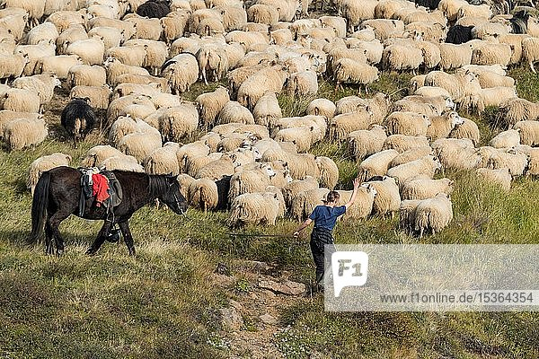 Schafe (Ovis aries)  Herde wird zusammengetrieben  Schafabtrieb oder Réttir  bei Laugarbakki  Nordisland  Island  Europa