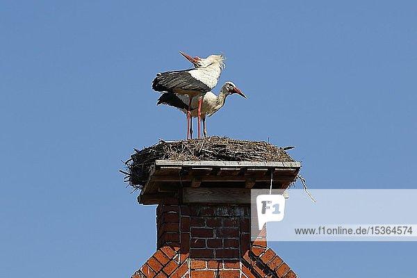 Weißstörche (Ciconia ciconia)  Brutpaar im Nest auf Dachgiebel  Storchendorf Rühstädt  Brandenburg  Deutschland  Europa
