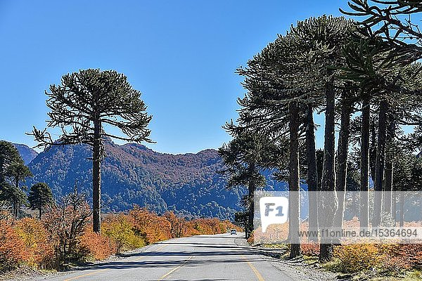 Straße führt durch Chilenische Araukarien (Araucaria araucana)  zwischen San Martin de los Andes und Pucon  Nationalpark Lanin  Patagonien  Argentinien  Südamerika