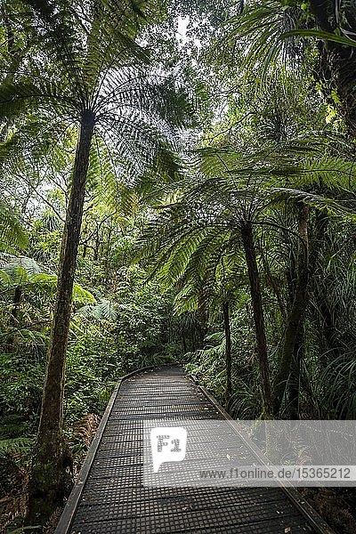 Baumfarne (Cyatheales) neben Wanderweg im Kauri Wald  Kauri Walks  Waipoua Forest  Northland  Nordinsel  Neuseeland  Ozeanien