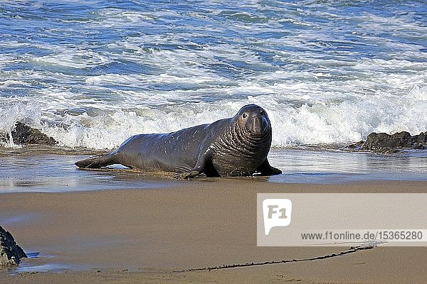 Nördlicher See-Elefant (Mirounga angustirostris)  adult Männchen am Strand  Piedras Blancas Rookery  San Simeon  San Luis Obispo County  Kalifornien  USA  Nordamerika