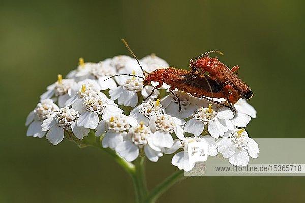 Rote Weichkäfer (Rhagonycha fulva)  Paarung auf Schafgarbe (Achillea millefolium)  Schleswig-Holstein  Deutschland  Europa