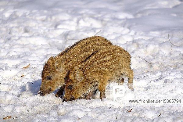 Wildschweine (Sus scrofa)  zwei Frischlinge wühlen im Schnee  Oberbayern Bayern  Deutschland  Europa