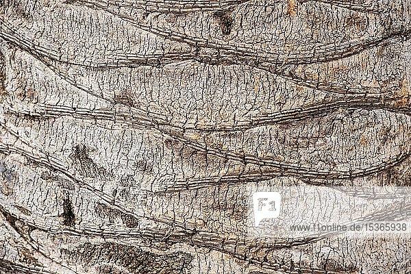 Borke einer Palme (Palmae)  Detail  Granada  Andalusien  Spanien  Europa