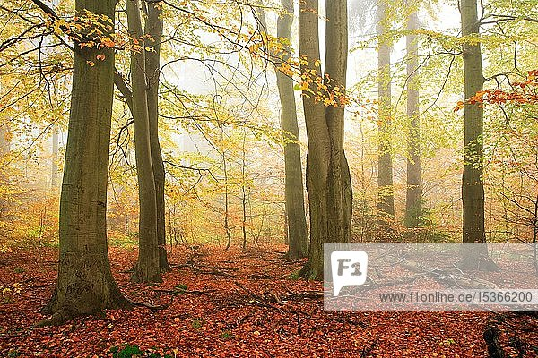 Beeches forest (Fagus) in autumn  dense fog  Harz  Saxony-Anhalt  Germany  Europe Beeches forest (Fagus) in autumn, dense fog, Harz, Saxony-Anhalt, Germany, Europe