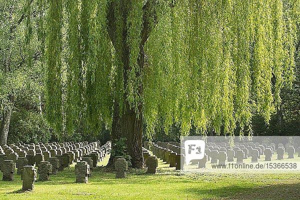 Steinkreuze unter Trauerweide  Kriegsgräber  Hauptfriedhof  Dortmund  Nordrhein-Westfalen  Deutschland  Europa