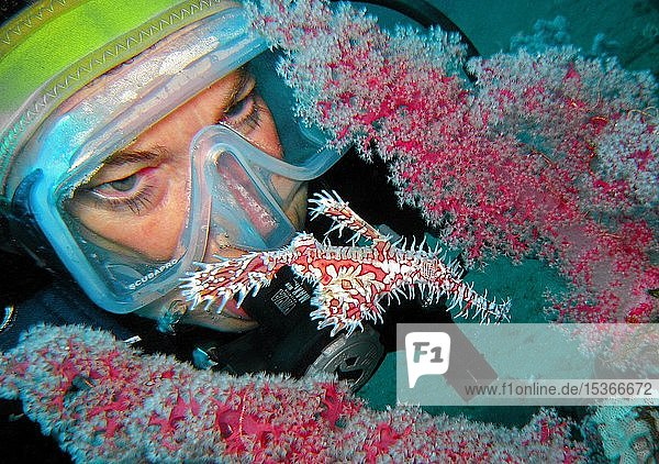Taucher betrachtet einen Schmuck-Geisterpfeifenfisch (Solenostomus paradoxus)  an einer roten Weichkoralle  Kri island  Raja Ampat  Irian Jaya  Indonesien  Asien
