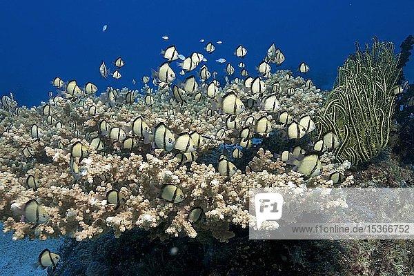 Netz-Preussenfische (Dascyllus reticulatus) schwimmen dicht über einer Tischkoralle  Malapascua  Cebu  Philippinen  Asien
