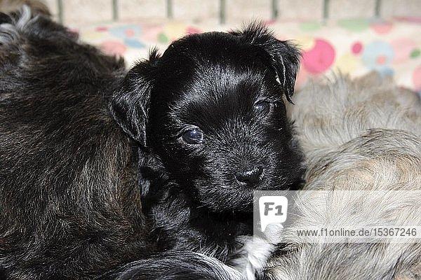 Schwarzer Havaneserwelpe  ca. 4 Wochen alt