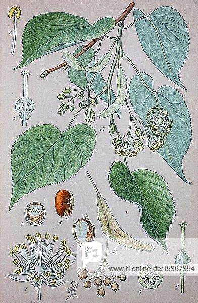 Hollaändische Linde (Tilia × europaea)  natürlich vorkommender Hybrid  historische Illustration von 1885  Deutschland  Europa