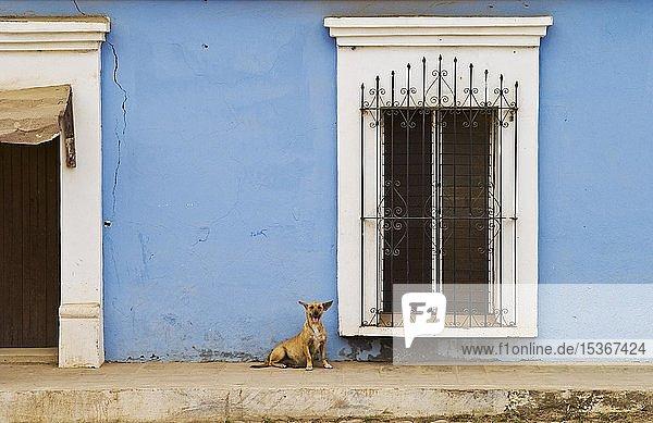 Hund  Fenster und blaue Mauer in der Stadt Cosalá; Sinaloa  Mexiko  Mittelamerika