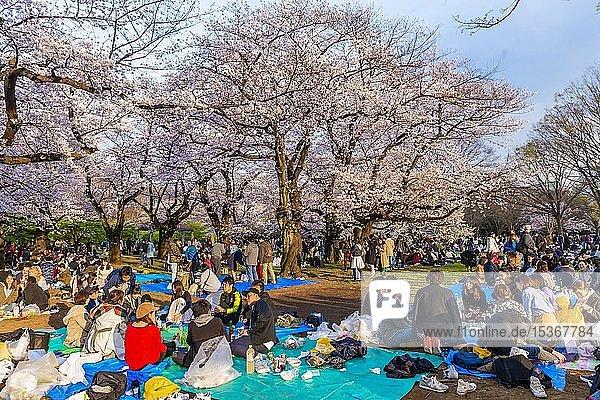 Japaner beim Picknick unter Kirschblüten im Yoyogi Park am Hanami Fest  Bezirk Shibuya  Bezirk Shibuya  Tokyo  Japan  Asien
