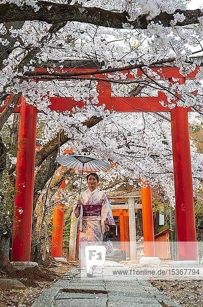 Japanerin mit Kimono unter blühenden Kirschbäumen  Torii Tor am Takenaka-Inari-Jinja Schrein  Kyoto  Japan  Asien