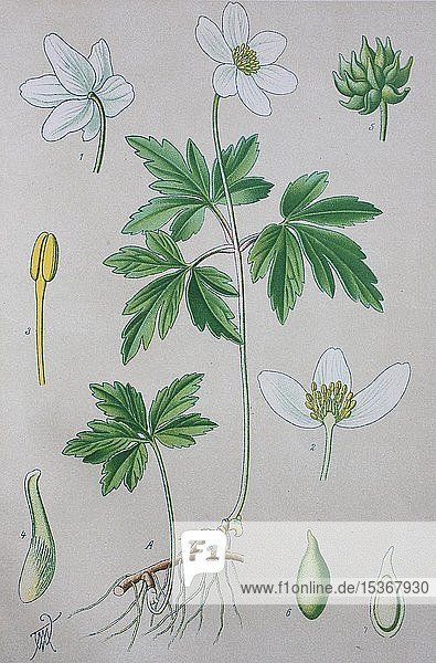 Buschwindröschen (Anemone nemorosa)  historische Illustration von 1885  Deutschland  Europa
