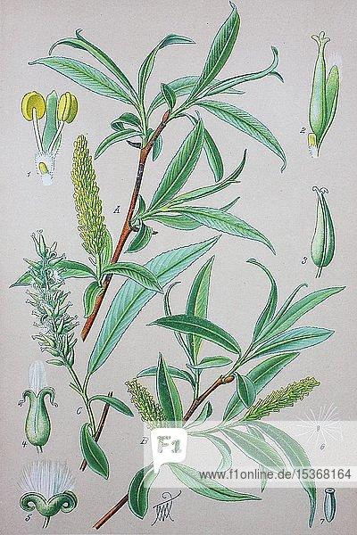Bruch-Weide (Salix fragilis)  historische Illustration von 1885  Deutschland  Europa