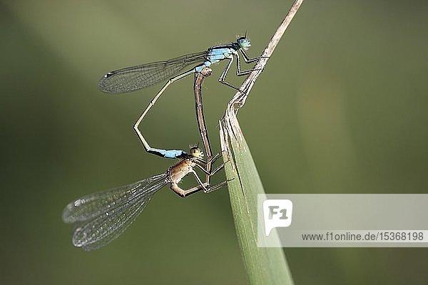 Paarungsherz  Libellenpaarung der Großen Pechlibelle (Ischnura elegans) an einem Schilfgras