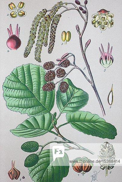 Schwarz-Erle (Alnus glutinosa)  historische Illustration von 1885  Deutschland  Europa
