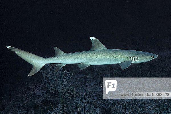 Weißspitzen-Riffhai (Triaenodon obesus)  Baa Atoll  Malediven  Asien