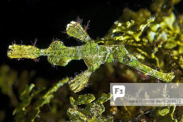 Halimeda Geisterpfeifenfisch (Solenostomus halimeda)  Lembeh Strait  Sulawesi  Indonesien  Asien