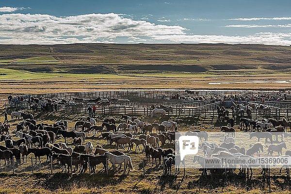 Islandpferde (Equus islandicus) in einem Pferch  Pferdeabtrieb oder Réttir  bei Laugarbakki  Nordisland  Island  Europa