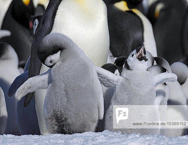 Kaiserpinguine (Aptenodytes forsteri)  Pinguinkolonie im Eis  Alttiere mit Jungtieren  Antarktis  Antarktika