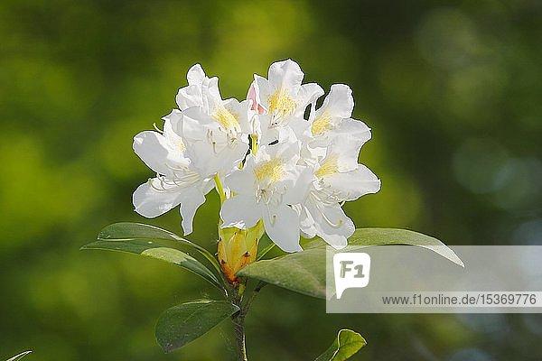 Weiß blühender Rhododendron (Rhododendron)  Dolde  Deutschland  Europa