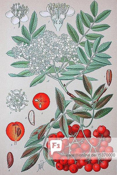 Eberesche (Sorbus aucuparia)  historische Illustration von 1885  Deutschland  Europa