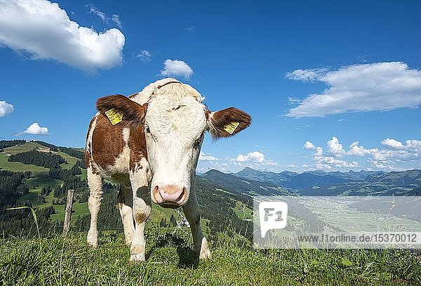 Ein junges Kalb (Bos primigenius taurus) auf einer Almwiese  Fleckvieh  Hochbrixen  Brixen im Thale  Tirol  Österreich  Europa