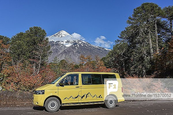 Yellow VW-Bus on road in front of snow covered volcano Lanin and Chilean Araucaria (Araucaria araucana)  between San Martin de los Andes and Pucon  National Park Lanin  Patagonia  Argentina  South America