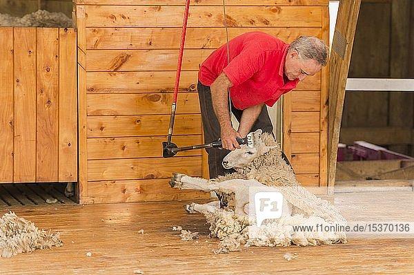 Schaf wird geschoren,  Sheep World,  Nordinsel,  Neuseeland,  Ozeanien