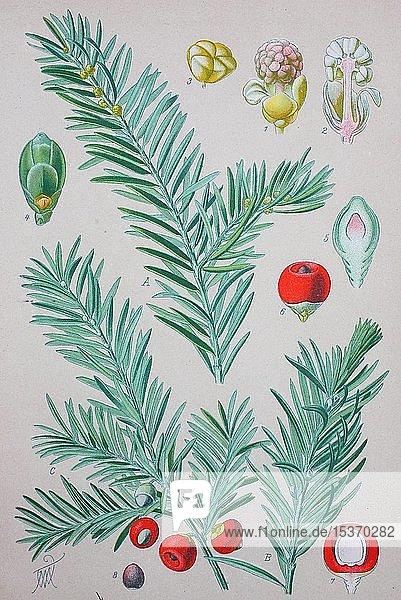 Europäische Eibe (Taxus baccata)  historische Illustration von 1885  Deutschland  Europa