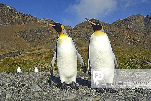 Zwei Königspinguine (Aptenodytes patagonicus) stehen nebeneinander  Carcass Island  Falkland Inseln