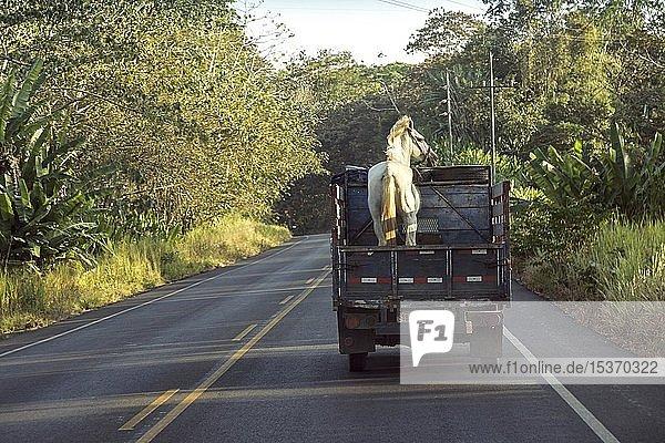 Pferd auf Kleintransporter auf der Straße  Costa Rica  Mittelamerika