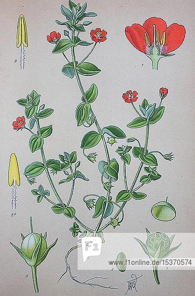 Ackergauchheil (Anagallis arvensis)  historische Illustration von 1885  Deutschland  Europa