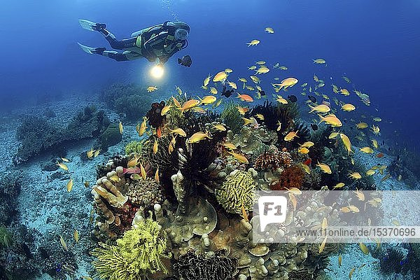 Taucher und Juwelen-Fahnenbarsche (Pseudanthias squamipinnis) an einem bunt bewachsenen Korallenblock  Bohol  Visayas  Philippinen  Asien