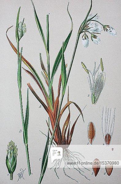 Schmalblättriges Wollgras (Eriophorum angustifolium)  historische Illustration von 1885  Deutschland  Europa