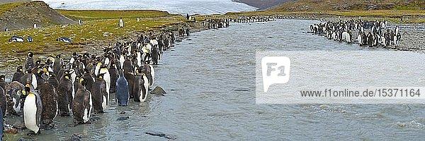 Königspinguine (Aptenodytes patagonicus) stehen am Gletscherfluss  Pinguinkolonie auf South Georgia Island  Südgeorgien  Antarktis  Antarktika