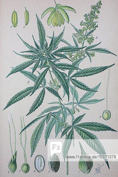 Hanf (Cannabis sativa)  historische Illustration von 1885  Deutschland  Europa