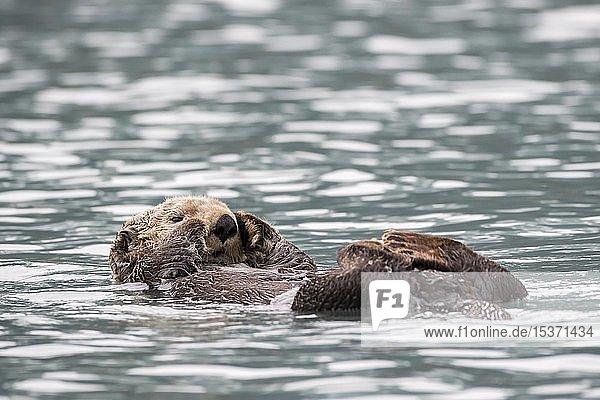 Seeotter (Enhydra lutris) schwimmt am Rücken  Seward  Alaska  USA  Nordamerika
