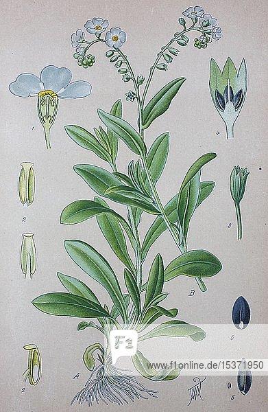 Sumpf-Vergissmeinnicht (Myosotis scorpioides)  historische Illustration von 1885  Deutschland  Europa