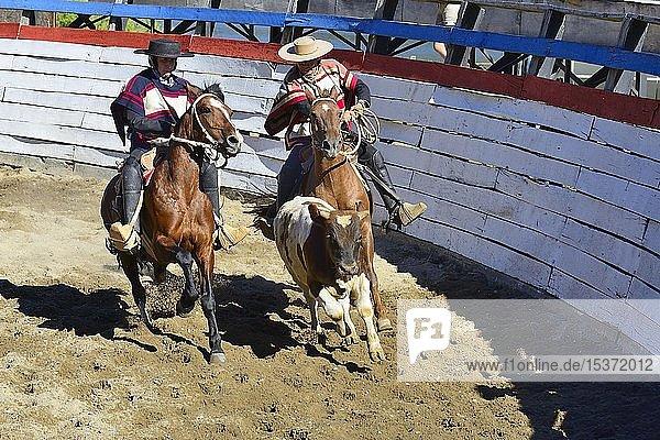 Treiben eines Kalbes von zwei Huasos  chilenische Cowboys  beim Rodeo  Region de los Lagos  Patagonien  Chile  Südamerika