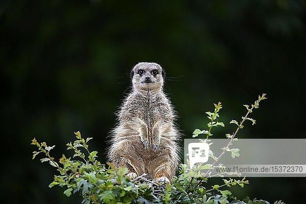 Erdmännchen (Suricata suricatta)  captive  sitzt auf Busch  hält Ausschau  Deutschland  Europa