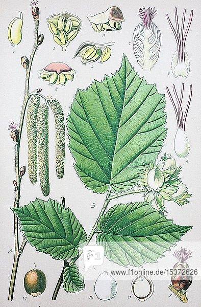 Gemeine Hasel (Corylus avellana)  historische Illustration von 1885  Deutschland  Europa