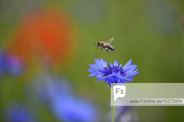 Honigbiene (Apis) fliegt über Kornblume (Centaurea cyanus)  Baden-Württemberg  Deutschland  Europa