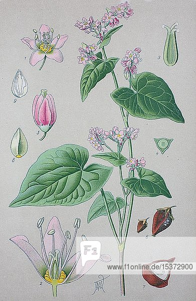 Echter Buchweizen (Fagopyrum esculentum)  historische Illustration von 1885  Deutschland  Europa