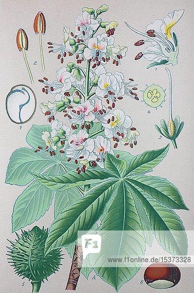 Gewöhnliche Rosskastanie (Aesculus hippocastanum)  historische Illustration von 1885  Deutschland  Europa